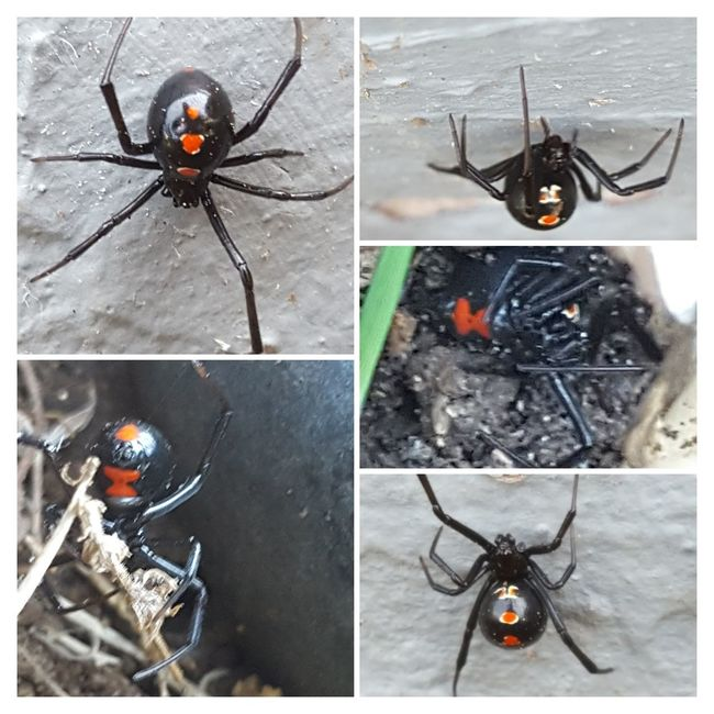 Wear Gloves When Your Garden Found In My Flower Bed One I'd Rather Not Had A Chance To Photo Black Widow Black Widow Spider Black Widows spider Spiders Insects Beautiful Nature Creepy Crawly Creepy Crawly Things Poisonous Spiders Deadly Spider