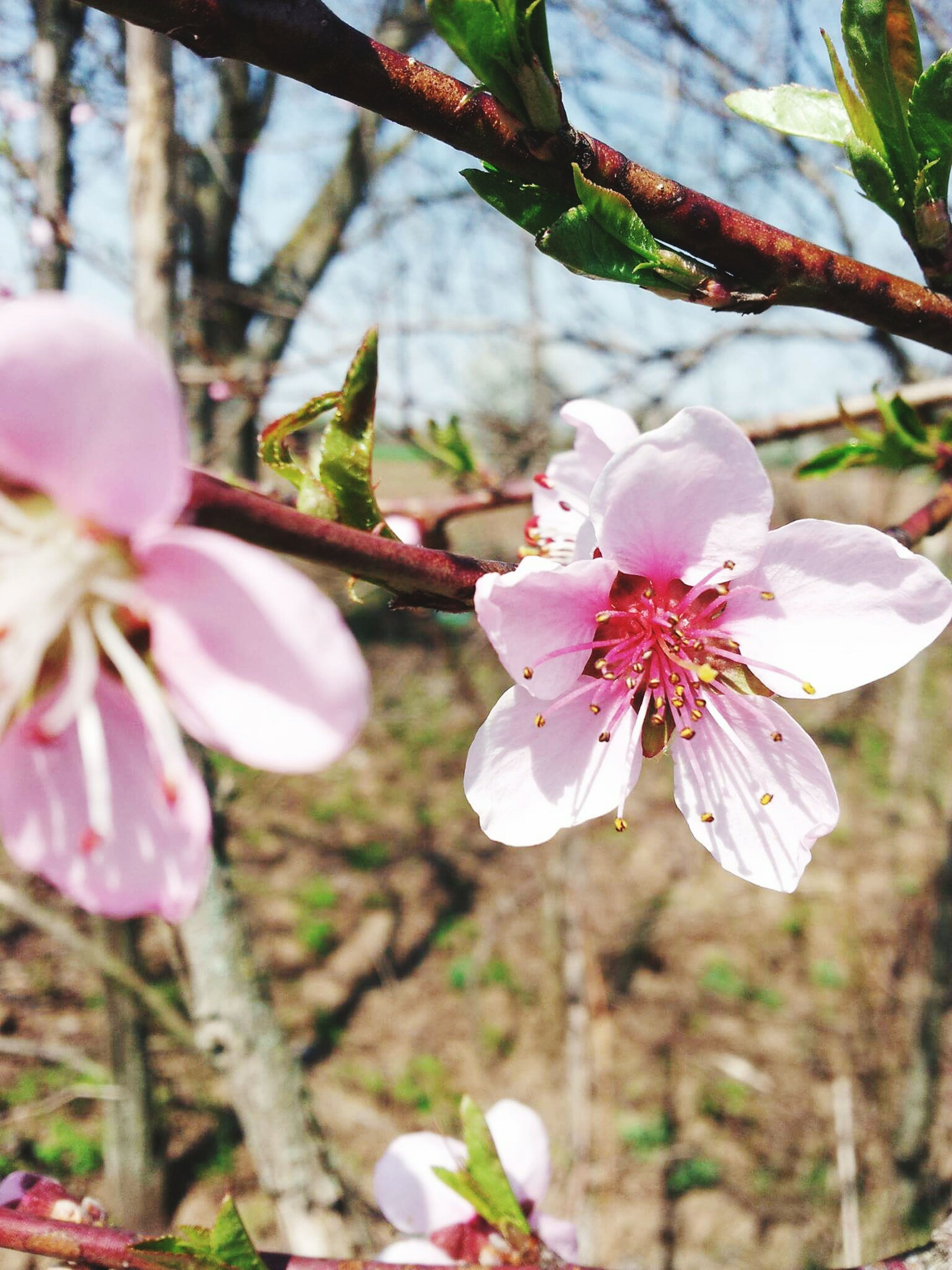flower, freshness, fragility, petal, growth, flower head, beauty in nature, pink color, stamen, focus on foreground, close-up, nature, blossom, tree, branch, in bloom, cherry blossom, blooming, pollen, springtime