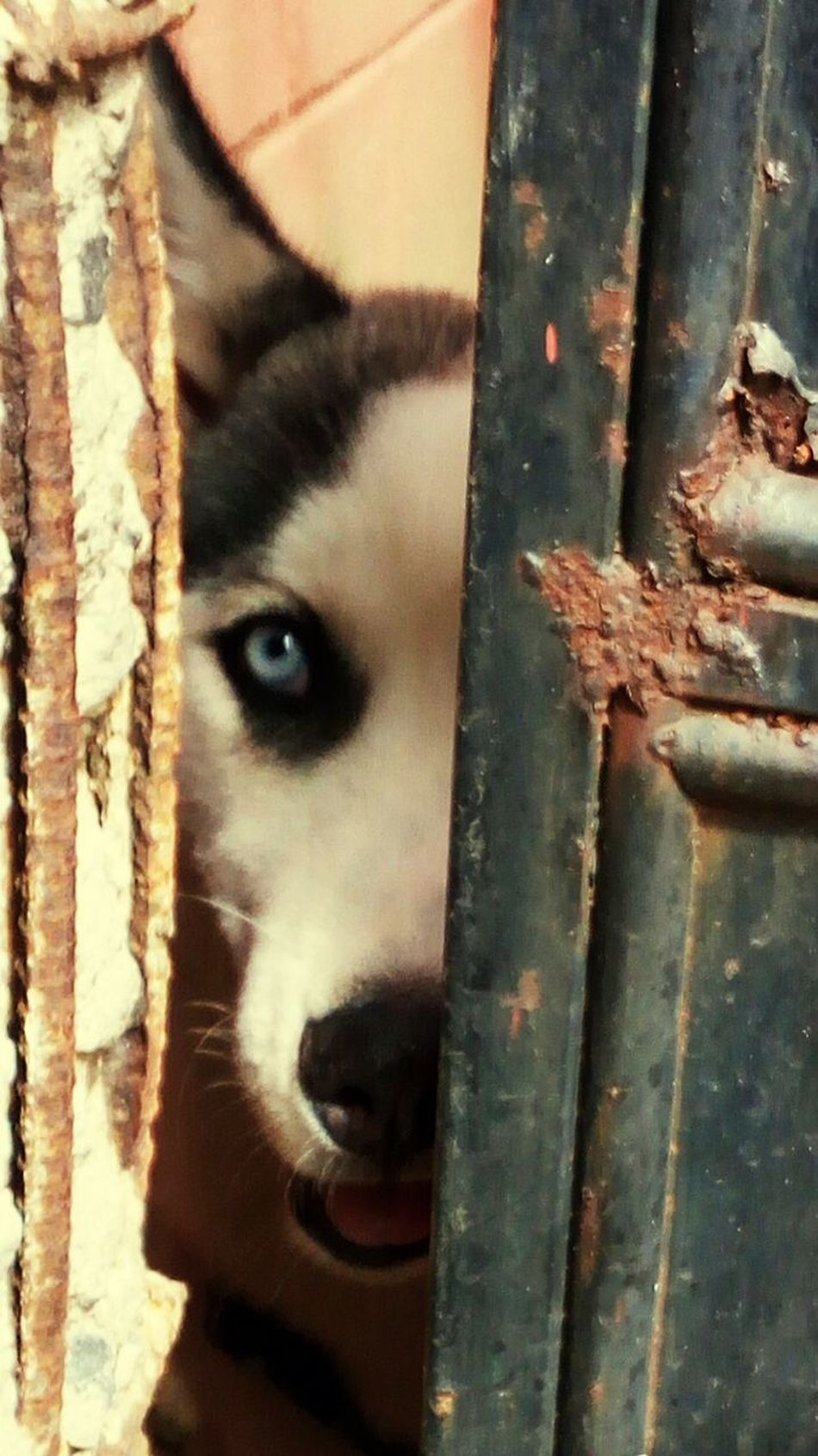 Looking At Camera Doors With Stories Old Buildings Dog Portrait Dog Eyes Dog Peeking Husky ♡ Husky Puppy Pets Mammal