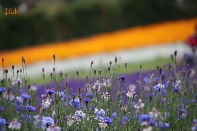 富良野 ファーム冨田 花 Flowers カスミソウ ラベンダー Lavender