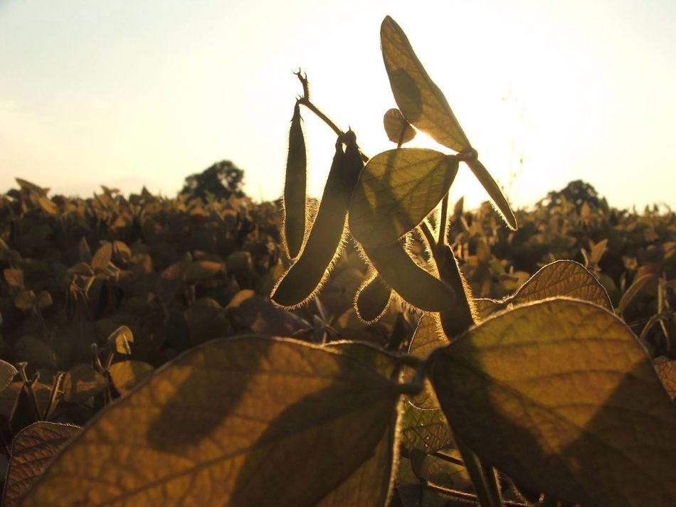 Sunset beans Broad Beans Sunset Beans Silhouette Silhouette Food Vegetable Growing Crops In The Sun Aesthetic Green Beans, Beanstalk Farming Life Horticultural Crop Horticulture Hartpury College