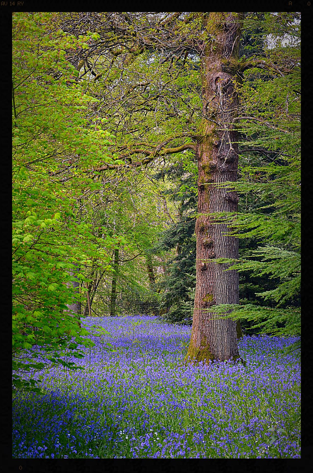 Beauty In Nature Bluebell Bluebell Wood Bluebells Flowers Flowers, Nature And Beauty Flowers,Plants & Garden Green Color Nature No People Outdoors Tree Trees And Nature Wood Woodlands