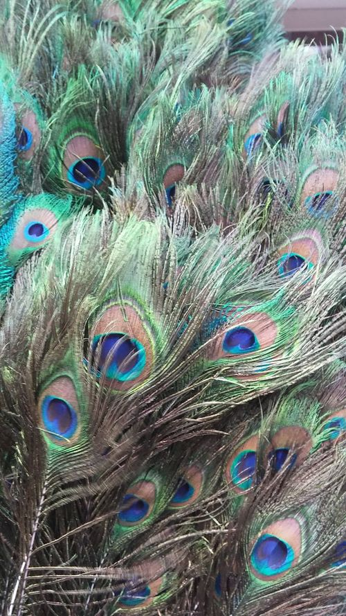 Multi Colored Peacock Feather Feather  Peacock No People Close-up Full Frame Backgrounds Fanned Out Day Outdoors Animal Themes Beauty In Nature Love Feather Design