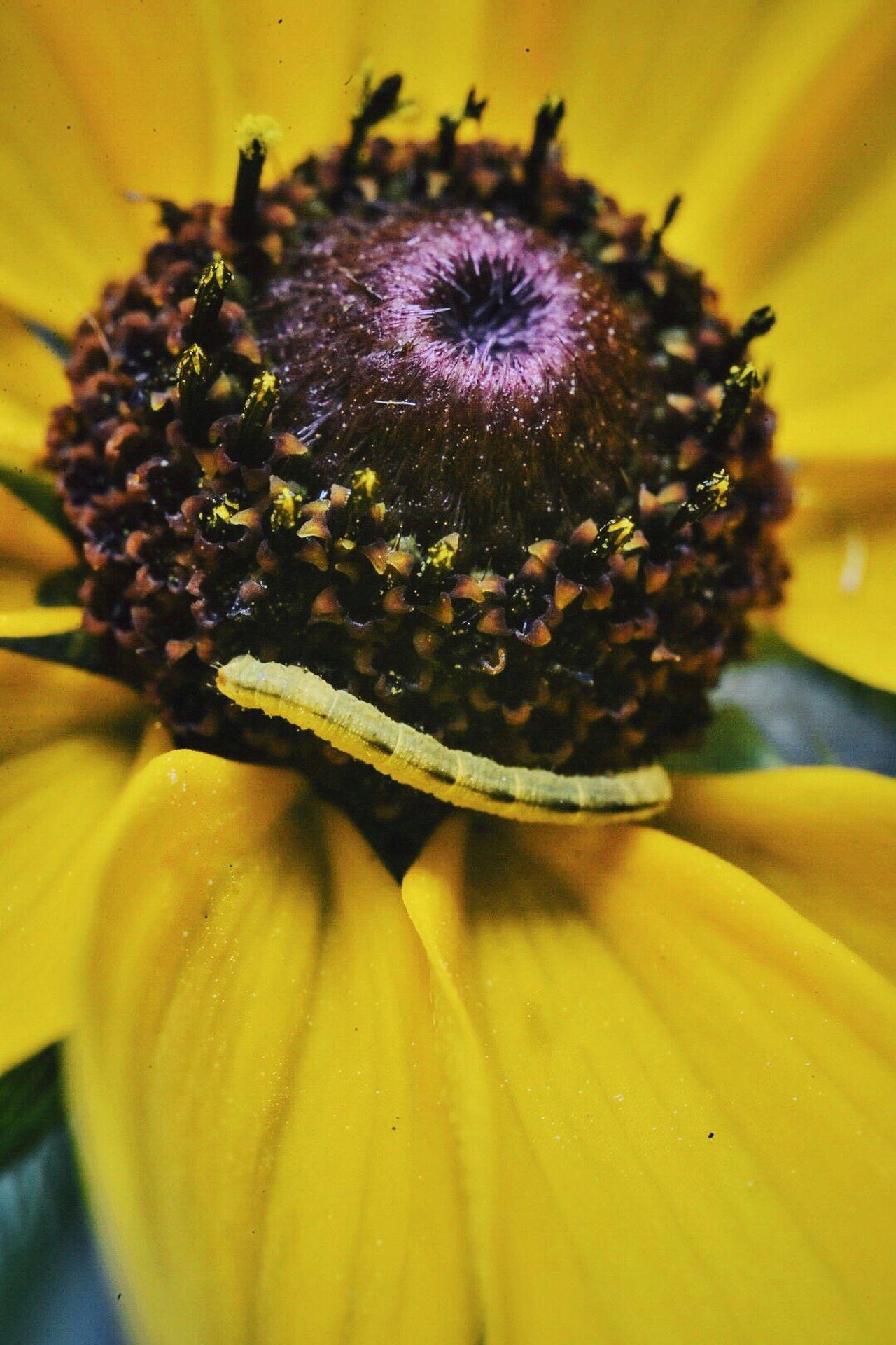 Macro Macro_flower Black Eyed Susan Inchworm Nature
