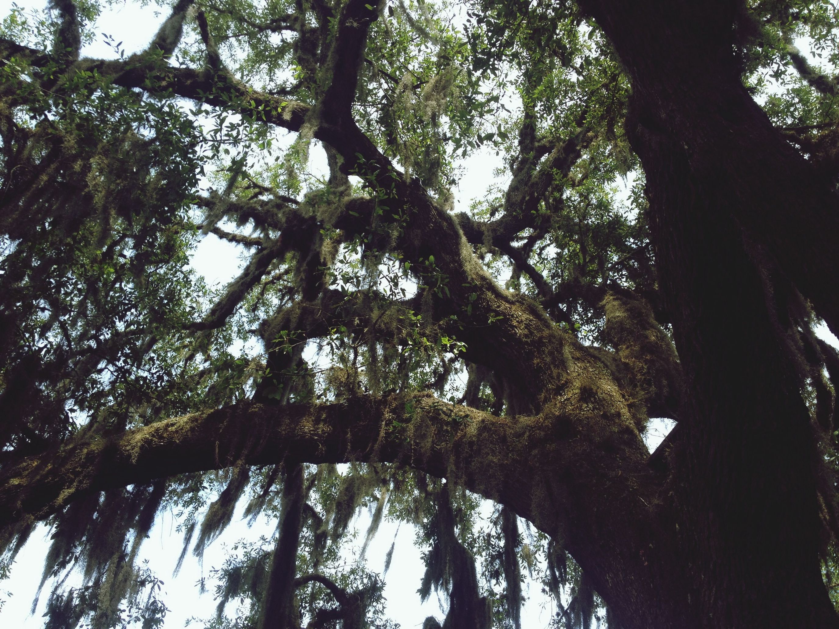 Old Oak Tree Florida Country Life