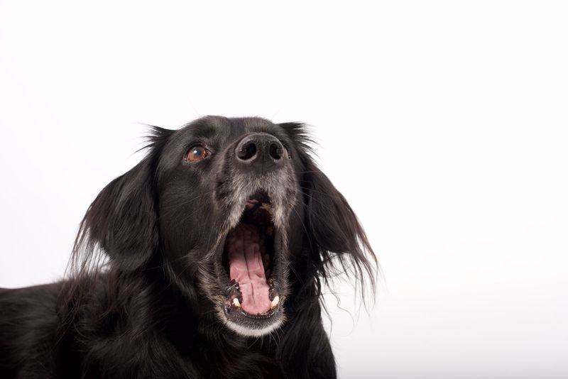 Bored with shoot Dog One Animal Pets Animal Themes Domestic Animals Panting Mammal Canine No People Animal Body Part Retriever White Background Black Labrador Close-up Outdoors Day Pet Portraits Pet Portraits