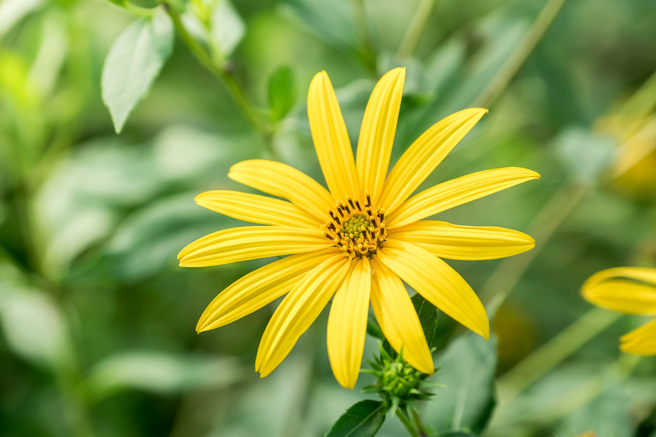 flower, yellow, petal, fragility, nature, beauty in nature, growth, flower head, freshness, day, plant, outdoors, no people, focus on foreground, blooming, close-up, cosmos flower