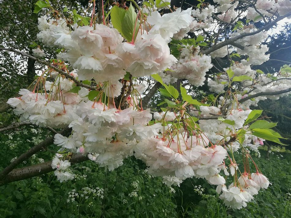 Spring Garden White Blossoms Smartphonephotography HuaweiP9 Spring Springtime Spring Day Blossom Time🌺 Blossoming Fresh & Bright Fruit Tree Blossoms Blossom Garden Photography Blossoms  London Gardens Tree Growth Nature Beauty In Nature Branch Outdoors Freshness Close-up Spring Freshness P9 Huawei Springtime Blossoms