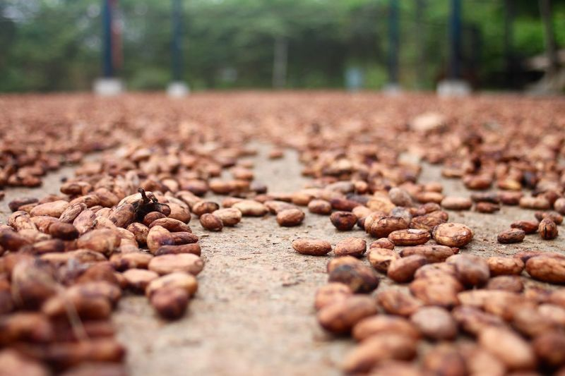 Abundance Cacao Close-up Day Fermentation Freshness Large Group Of Objects Nature No People Outdoors Quantity Selective Focus Surface Level Tree
