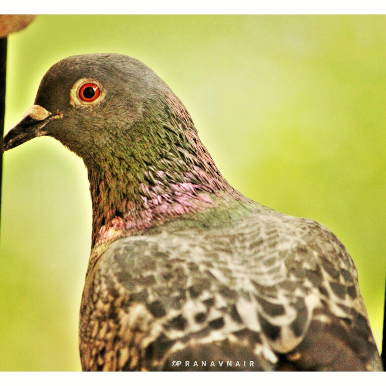 Bird No People Nature Day Beak Close-up Pigeon Pigeon Bird  India Likemypics Followme
