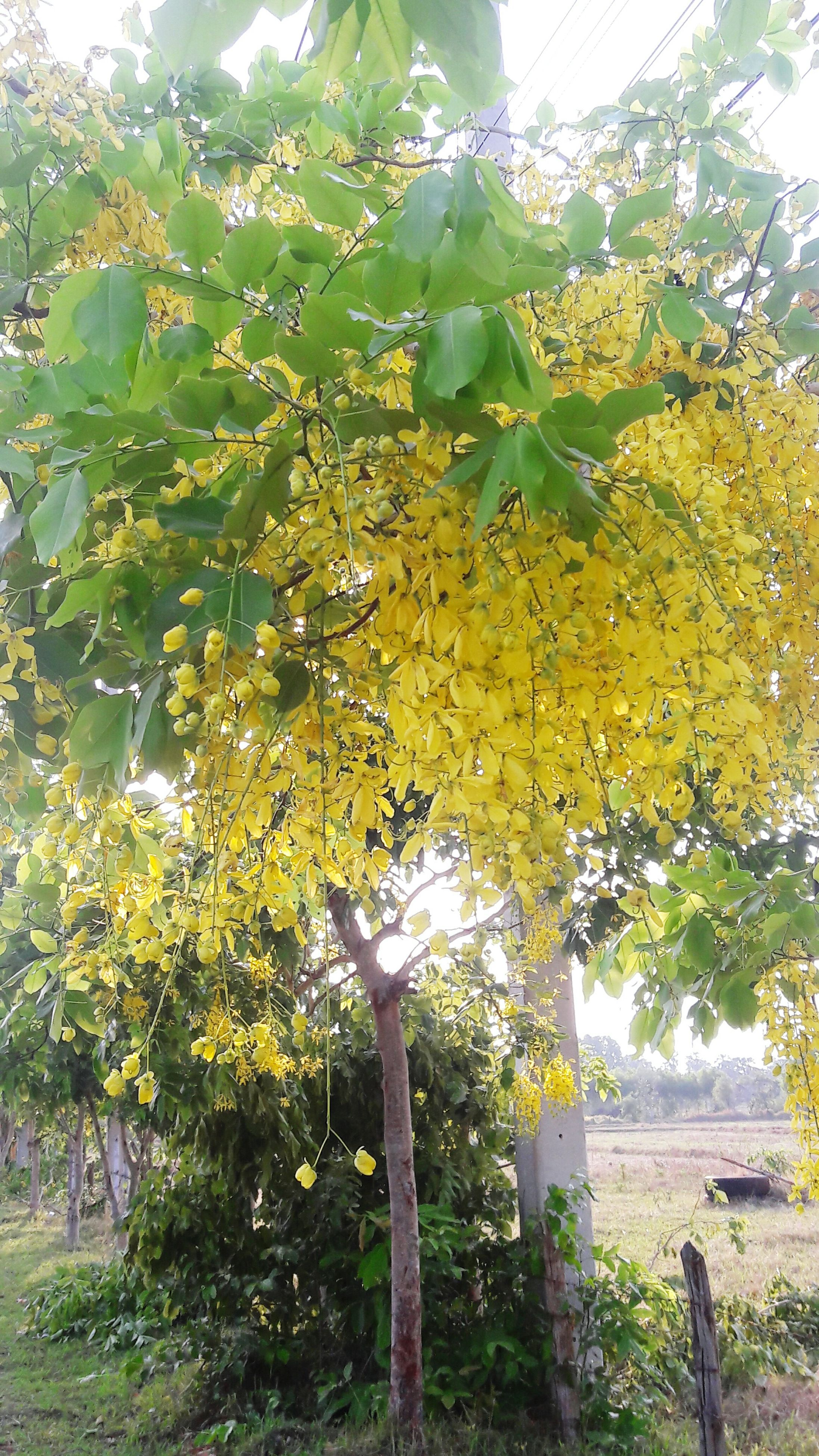 tree, growth, yellow, plant, built structure, nature, flower, building exterior, beauty in nature, architecture, leaf, branch, day, sky, freshness, green color, sunlight, growing, rural scene, outdoors