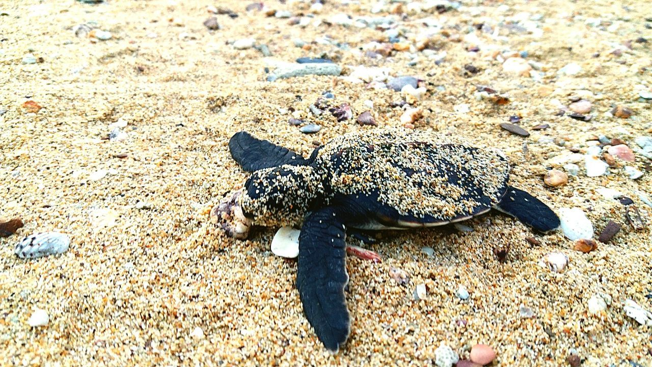 one animal, animal themes, beach, animals in the wild, sand, day, nature, animal wildlife, high angle view, no people, outdoors, reptile, sea life, sea turtle, close-up