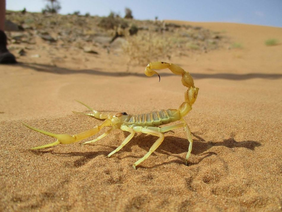 Apistobuthus pterygocercus - adult female - Oman Animal Wildlife Animals In The Wild Animal Themes Scorpion Scorpions Skorpion Close-up Arachnologie Arachnology Arachnid Photography Oman Apistobuthus First Eyeem Photo EyeEmNewHere