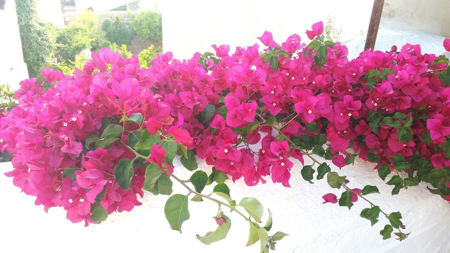 All those Bougainvilleas When Travelling Around Greece Flower Collection Island Of Spetses Missing Summer Bougainvillea Summer Memories... Spetses Greece
