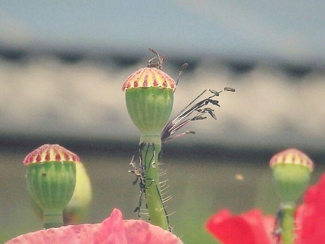 Hello World Flower Bnw_friday_eyeemchallenge EyeEm Nature Lover 坊主ポピー ( ̄ー ̄)笑