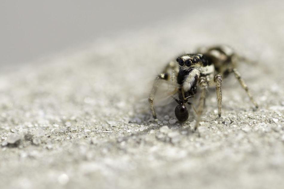 Close-up Insect Jumping Spider Macro Macro Beauty Macro Nature Macro Photography Macro Spider Macro_collection Macroclique Nature Spider Spider
