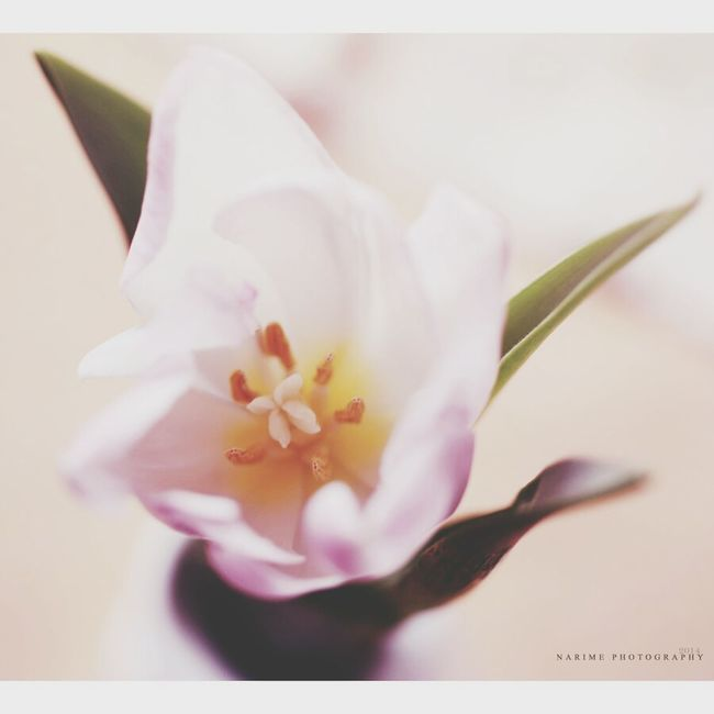 Tulip Intimacy Flower Narime