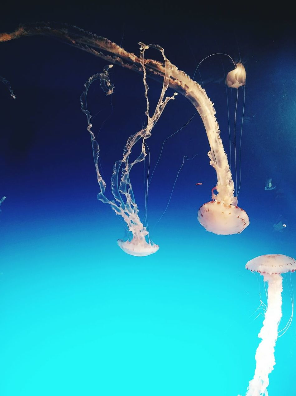 Nature Water Underwater Aquarium Aquarium Life Aquatic Life Aquarium Photography Jellyfish Blue Sea Life Aquarium Of The Pacific Long Beach, California USA