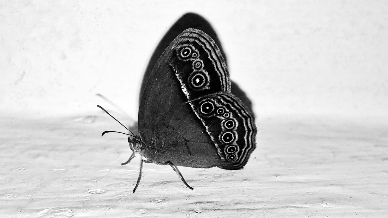 Butterfly Be Like: Hey! What's Up? Butterfly Blackandwhite B&w Macro Close-up No People LGG3 LGg3photography Mobilephotography Premium Market