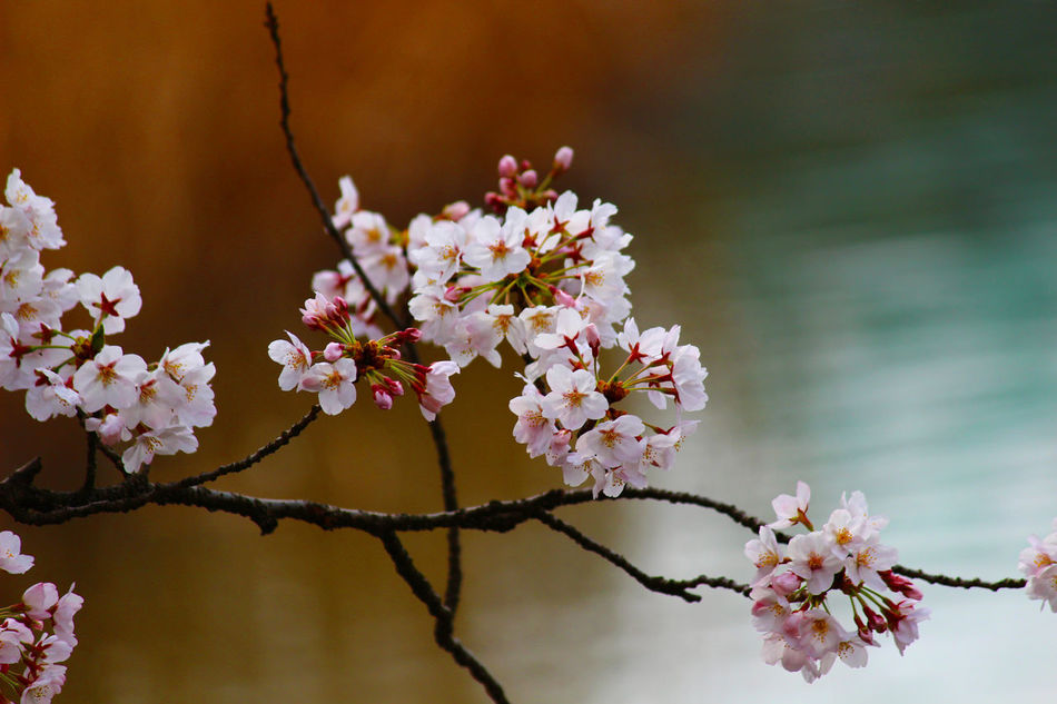 Beauty In Nature Blooming Blossom Branch Cherry Blossoms Close-up Flower Focus On Foreground Fragility Freshness Growth Nature No People Petal Plum Blossom Springtime Tree White Color