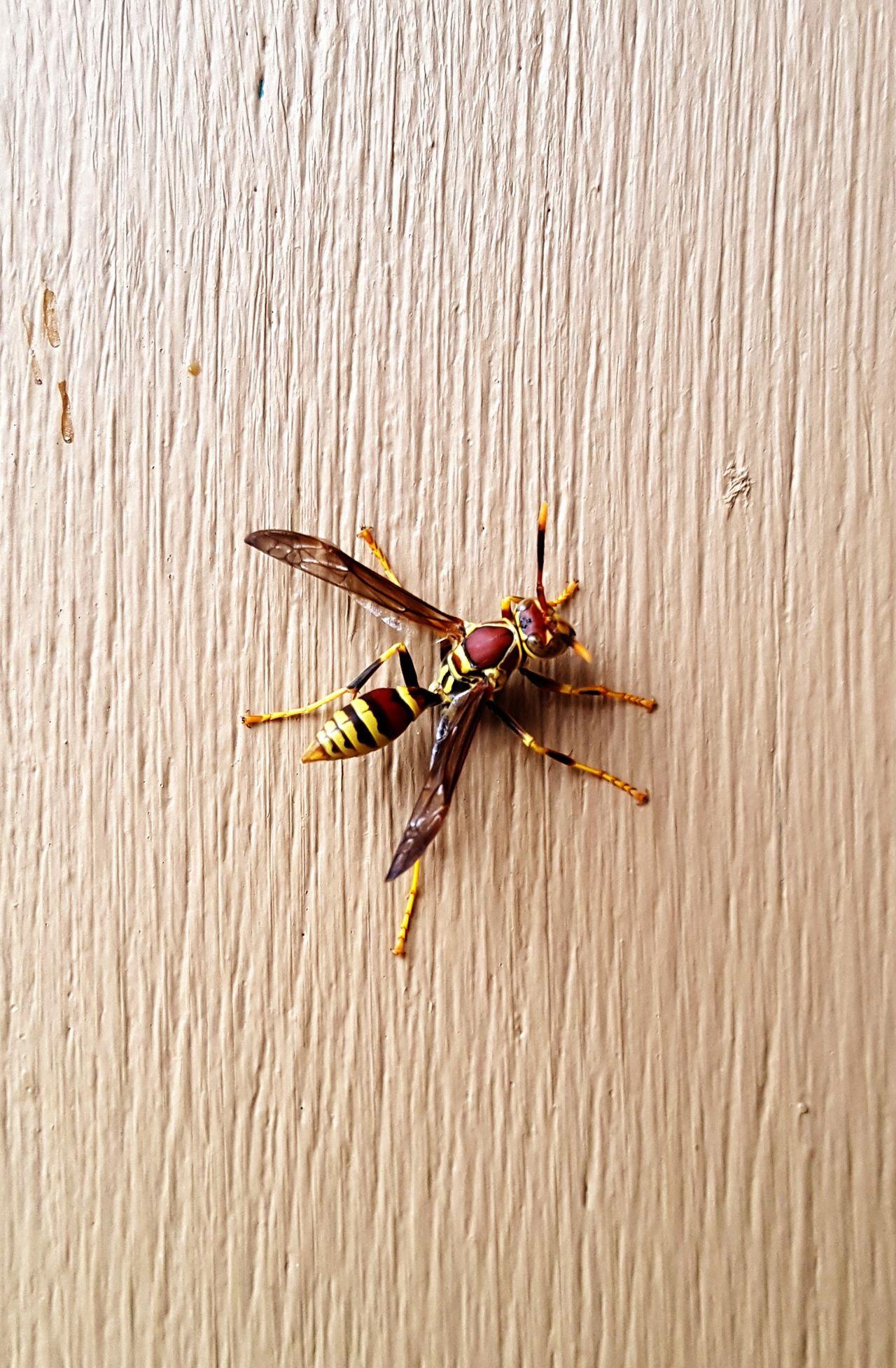 Yellow Jacket on Painted Wood Door Beaty Close-up Day Insect No People Wasp Wasp Macro Wood Surface Yellow Jacket