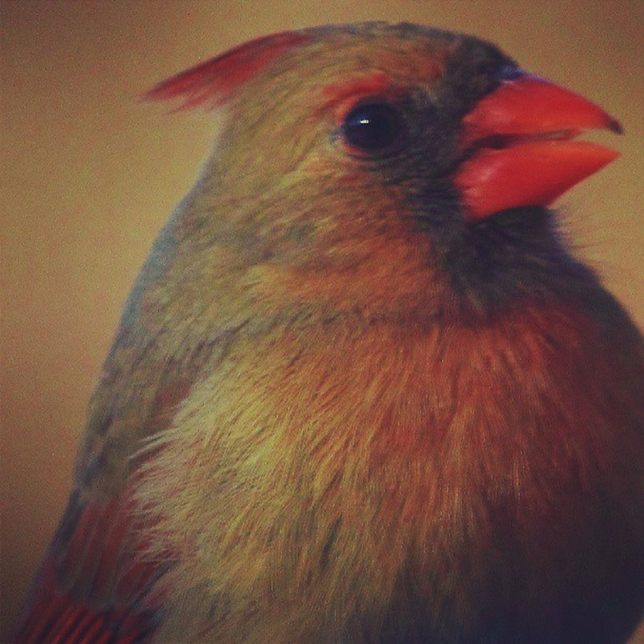 Female cardinal Animazing_birds Amazing_birds Allmightybirds Birds_n_branches birdfreaks feather_perfection feather_features fabfaunas nature_perfection nuts_about_birds underdogs_feathers whatschirping wildlife_perfection