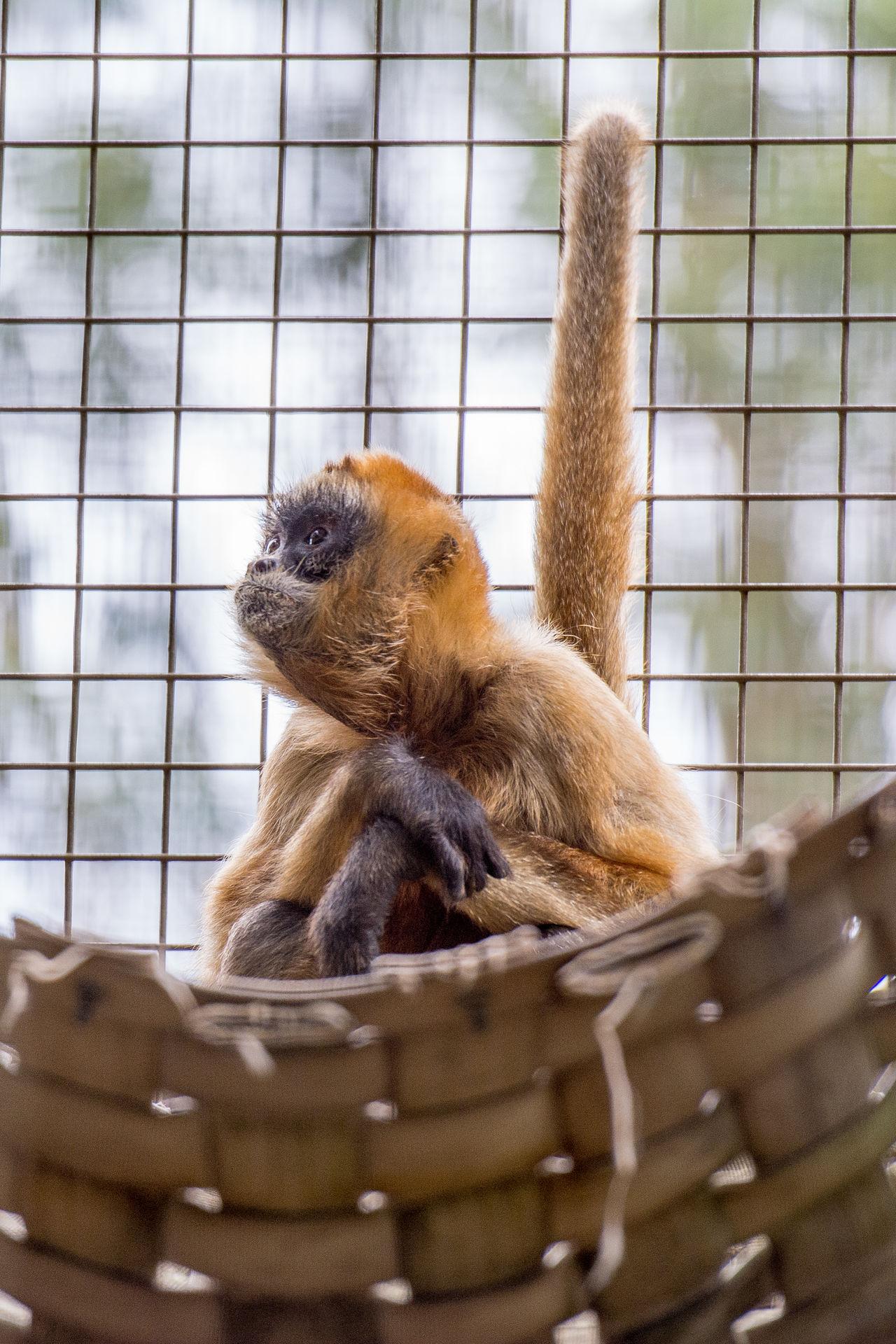 Beautiful stock photos of monkey, Brown - Color, Cute, Hammock, Innocence