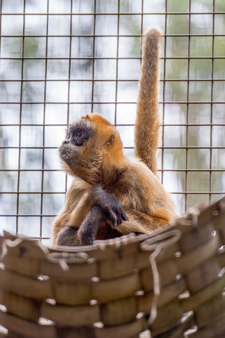 Beautiful stock photos of monkey, Brown - Color, Cute, Hammock, Innocence