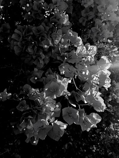 Flower Plant Nature Petal No People Outdoors Day Growth Park Finds Summertime Flowers IPhoneography Blackandwhite Photography Sunlight