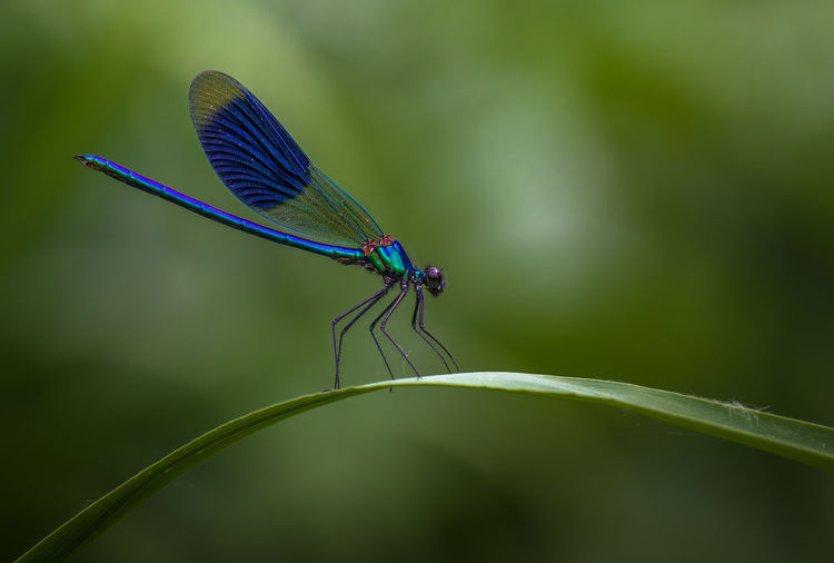 banded demoiselle Dragonfly Animal Themes Animal Wildlife Animals In The Wild Banded Demoiselle Beauty In Nature Blue Close-up Damselfly Day Focus On Foreground Green Color Insect Leaf Nature No People One Animal Outdoors Plant Violet