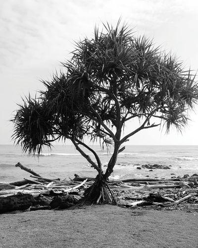 Sea Water Beach Tree Nature Beauty In Nature Outdoors No People Landscape Single Tree Lydgate Beach Kauai Life Blackandwhite Photography