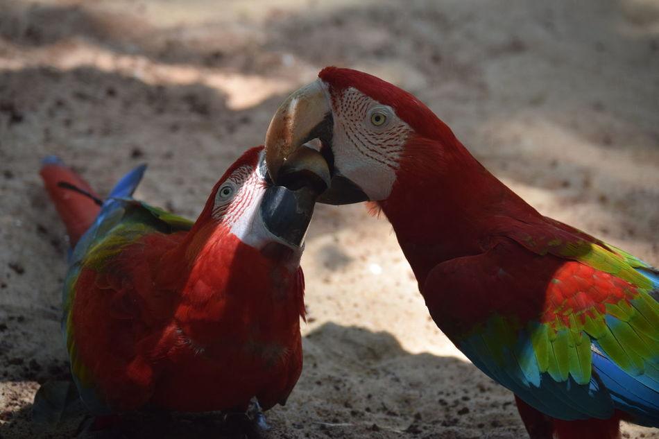 @ Parque das Aves, Foz do Iguaçu, Brazil Bird Birds Blue Brazil Close-up Couple Green Macaw Macaw Parrot Nature Outdoors Parrot Red Wildlife First Eyeem Photo