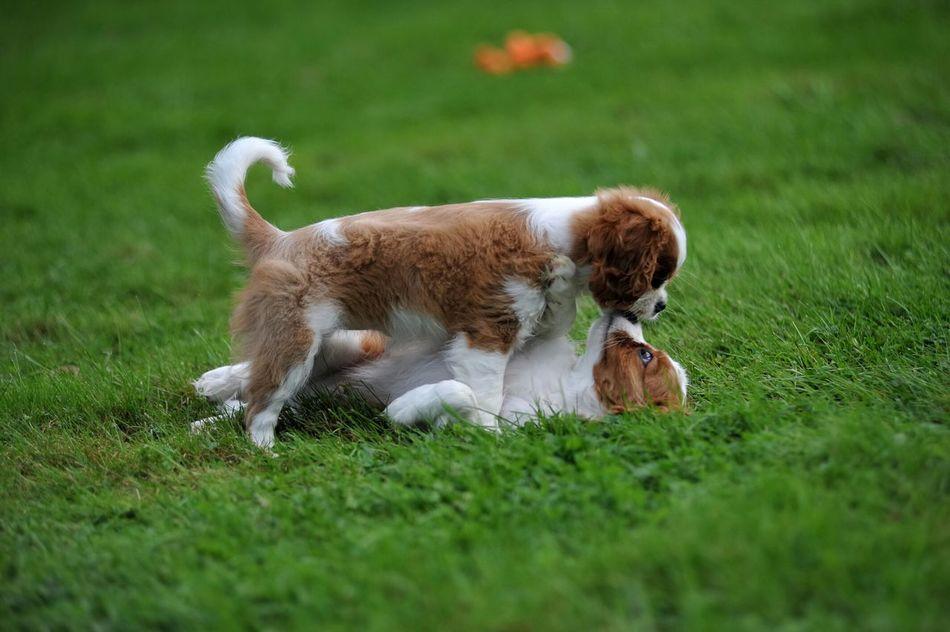 So Sweet Better Together Cavalier King Charles Spaniel Puppy Cavalier Cavalierkingcharlesspaniel Ckcs