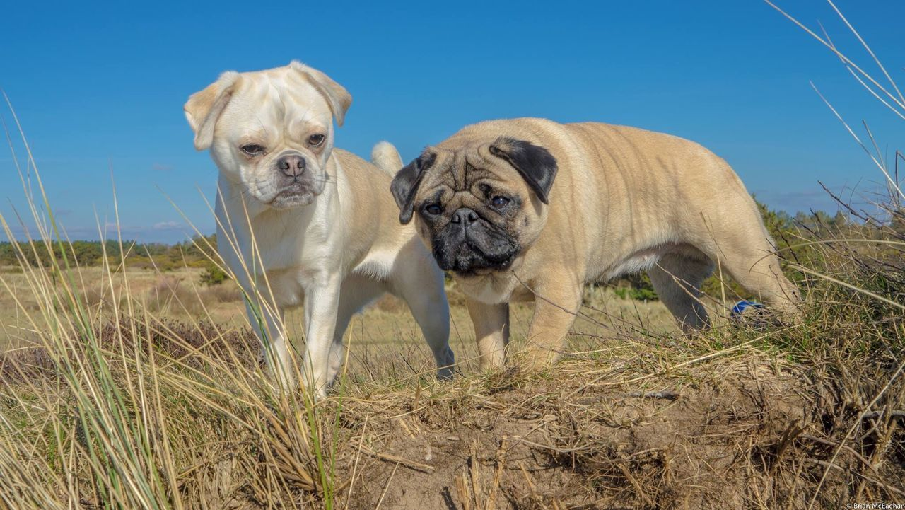Beach Dog Pets Animal Looking At Camera Grass Outdoors No People Young Animal Blue Domestic Animals Portrait Nature Animal Themes Sky Day Mammal Pug Chug Chug Life Cute Dog  Scotland Cute Cloud - Sky