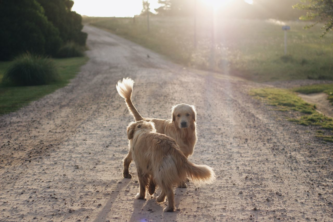 Beautiful stock photos of sonnenschein, Animal Themes, Day, Dirt Road, Dog