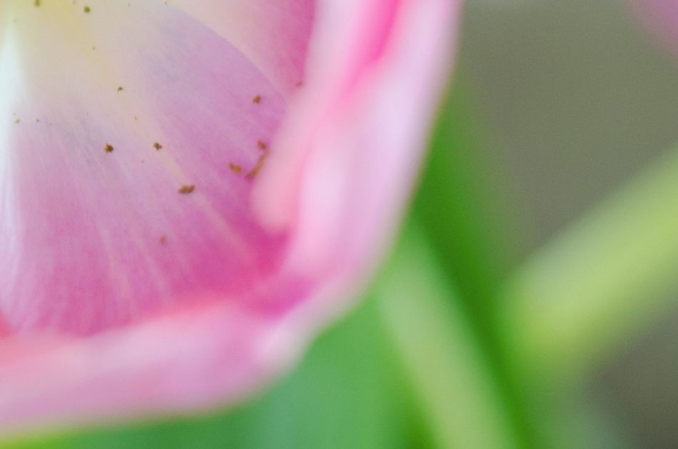 Tulip close up. Close-up Growth Nature Beauty In Nature Flower Flower Head Tulip Petal Nectar Pollen Soft Focus Selective Focus Abstract Spring Flowers Tulips Blooming Spring Pink Color Green Color Garden Bouquet Fragility Macro No People Freshness
