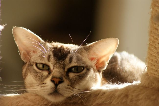 Cat Burmilla Relaxing Chilling Cute Cats Market Reviewers' Top Picks Fresh On Market May 2016 Fresh On Market 2016
