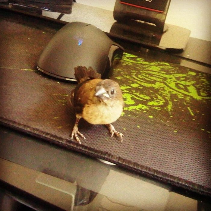 Even bird chose Razer Bird Razer DeathAdder Goliathus anansi