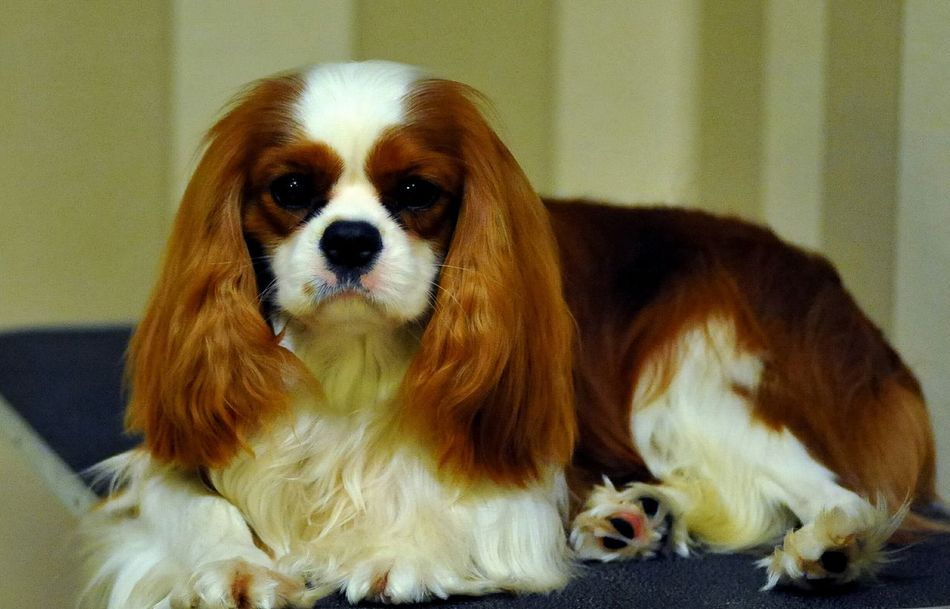 Leo Amazing Eyes Cavalier King Charles Spaniel Beautiful Cavalier Cavalierking Cavalierkingcharlesspaniel Ckcs Dog Dog Show Akc