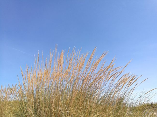 Low Angle View Sky Nature Growth Day No People Flower Outdoors Beauty In Nature Blue Clear Sky Freshness Plant Fragility Flower Head Praia Beach Dunas Dunes Wind Summer Portugal Beach Costa Da Caparica Praia De S João Dancing In The Wind