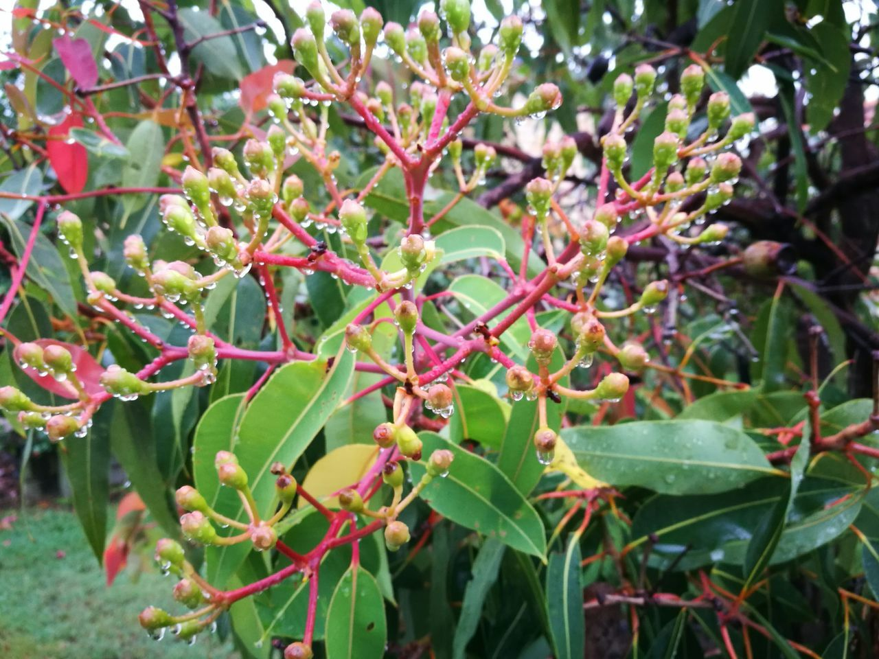 Gum Nut Flower Buds After Rain