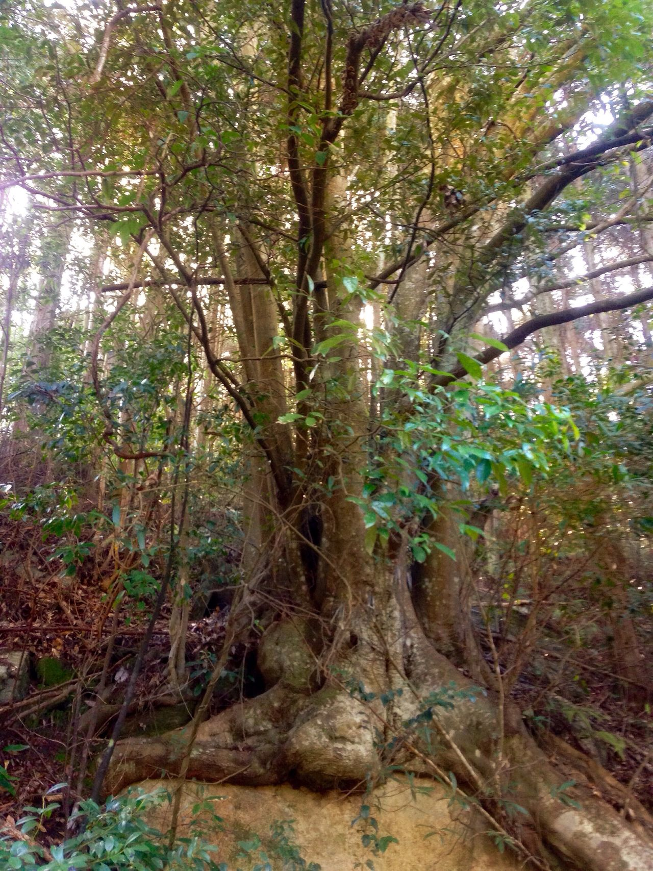 Early In The Morning Creekside Trail Mother Nature Is Amazing Tree Nature Forest Growth Tranquility Tranquil Scene Outdoors Tree Trunk Scenics Day No People Beauty In Nature Branch Close-up (null)🇯🇵 Japan