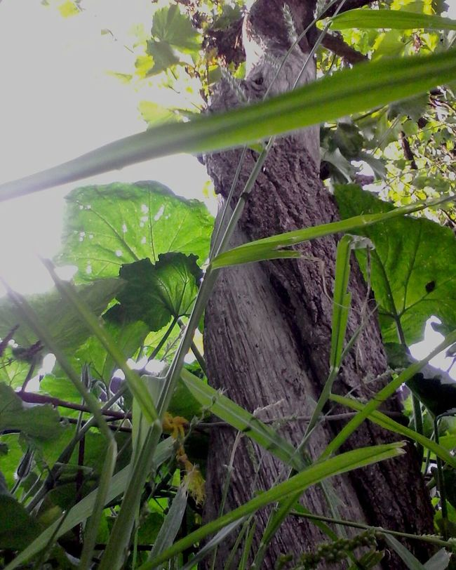 Eyeemphoto Sky Tree Lookingup Plants Wolfzuachis 2016 Romanian  Ionitaveronica Wolfzuachis Photos Edited By @wolfzuachis Showcase: August Nature @wolfzuachis Eyeem Market Showcase: 2016 Tree Trunk Original Content Original Photo Blue Sky In My Backyard Plant Green Summer Sunny Day