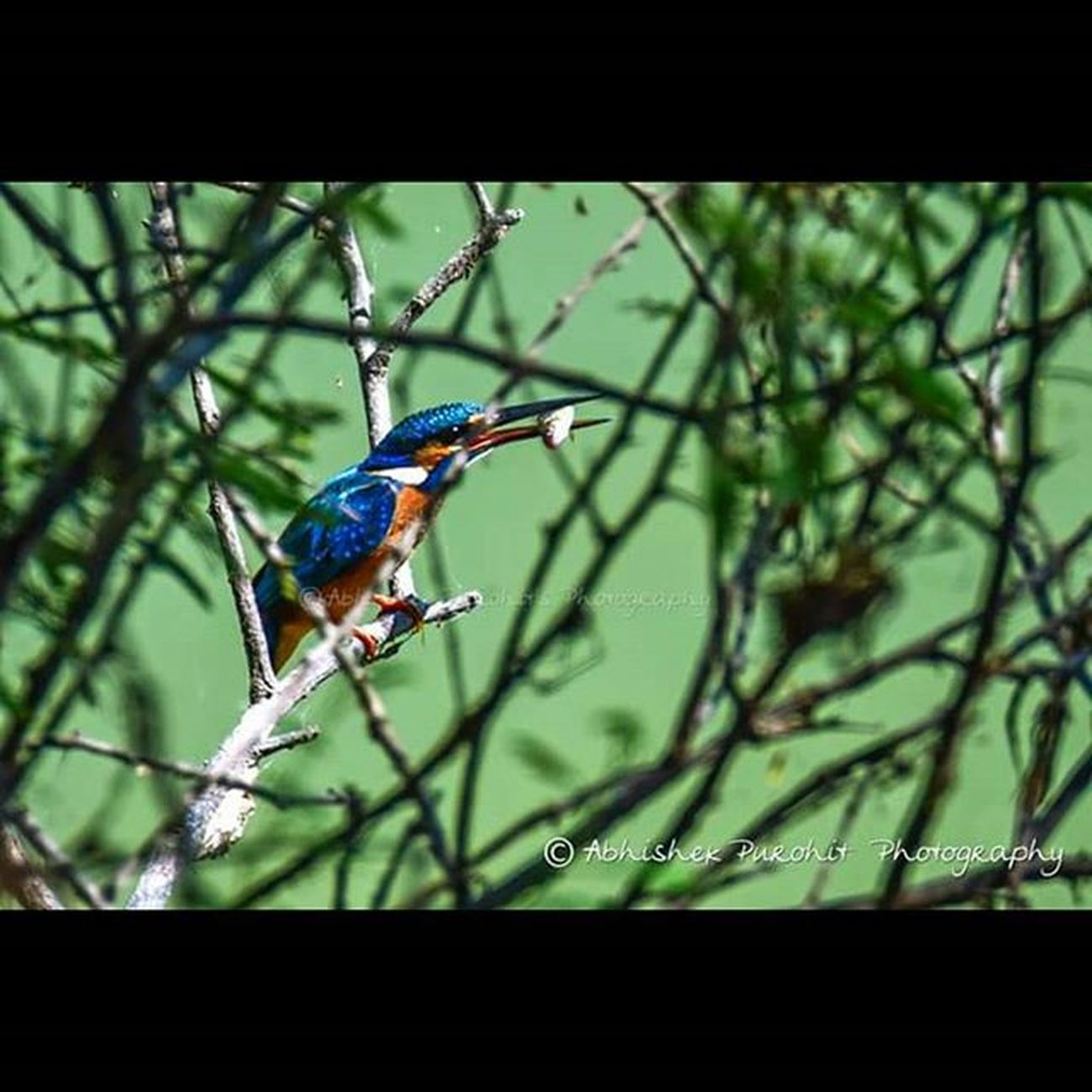 Lunchtime Fish King Jodhpur Jodhpurs Photographie  Monsoon Birwatch Bird Fishing Kingfisher Travel Catch Travel Concept Jodhpuri Knowledge Learn Learning India Indian Rajasthan Like4like Igersjodhpur Instajaipur gioneeshutterbugs instaudaipur jodhpur_shotout instam