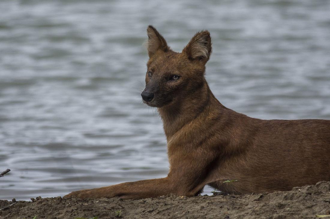 #dogs #Kill #Nature  #Nobody #rainforest #Thailand #water #wild #wildlifephotography #wolfstyle