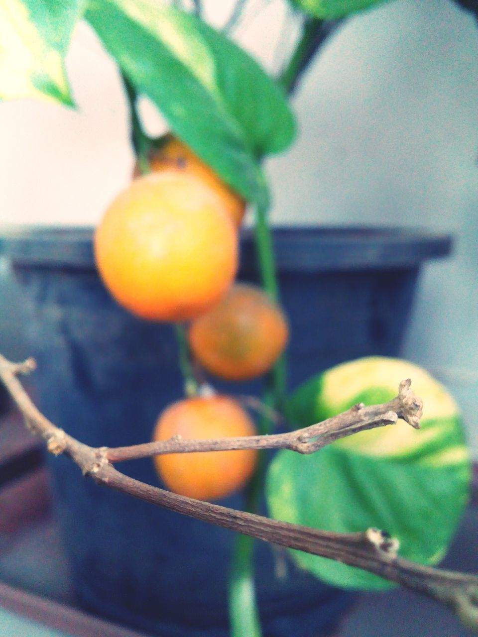fruit, food and drink, no people, focus on foreground, close-up, food, hanging, day, freshness, healthy eating, leaf, growth, outdoors, nature