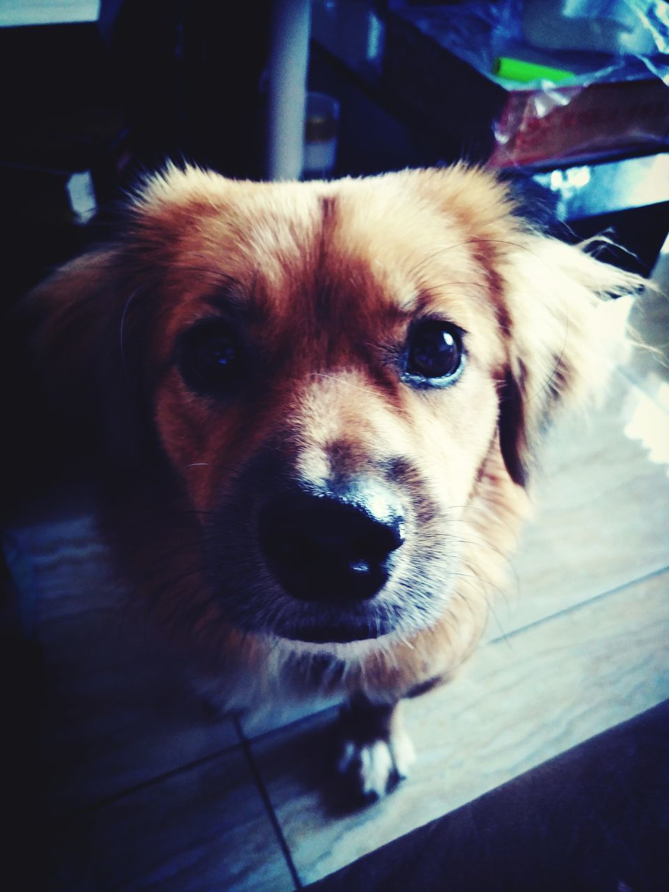 dog, one animal, looking at camera, animal themes, pets, close-up, portrait, domestic animals, indoors, no people, mammal, day