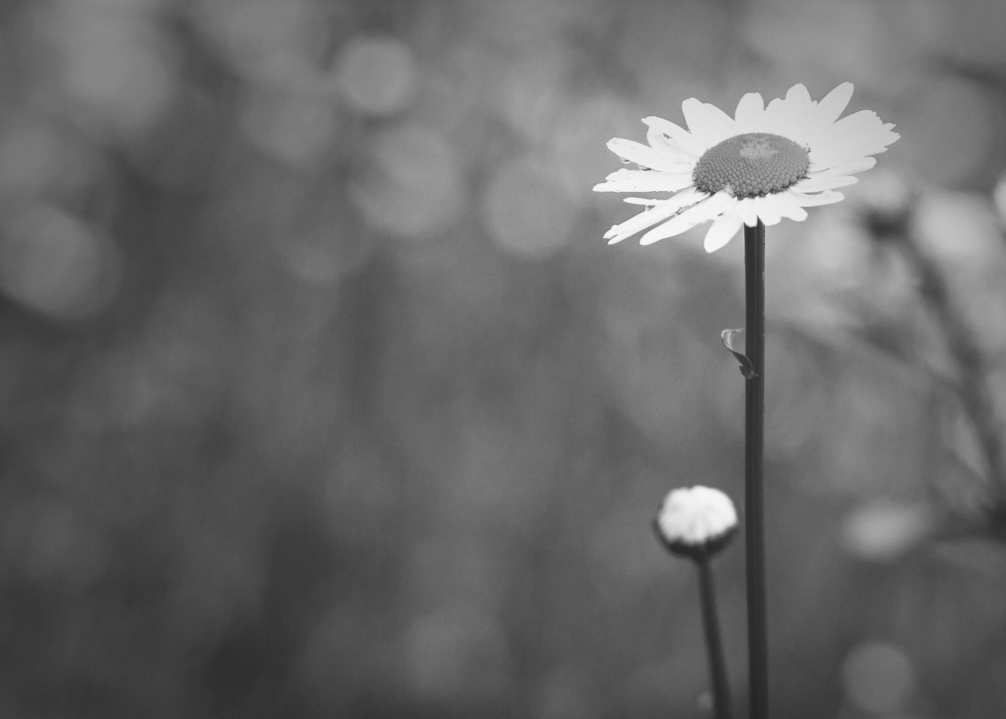 flower, fragility, growth, freshness, focus on foreground, stem, beauty in nature, close-up, nature, flower head, plant, petal, lighting equipment, blooming, dandelion, outdoors, in bloom, selective focus, white color, no people