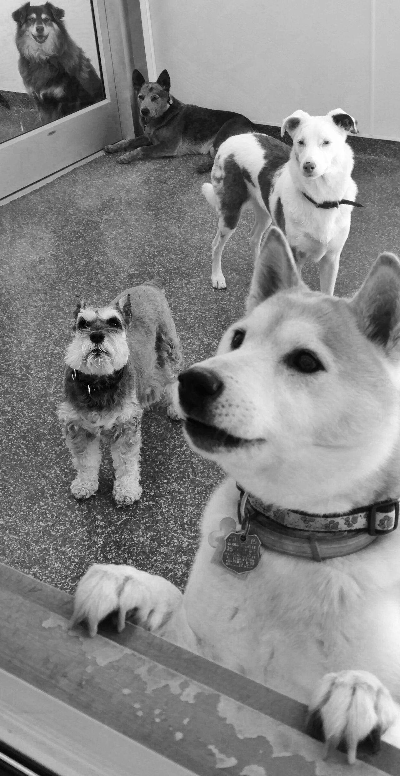 Doggie Day Camp! Animal Themes Domestic Animals Doggie Day Camp Dogs Having Fun Black & White Dog Breeds Close-up No People EyeEm Cell Phone Photography
