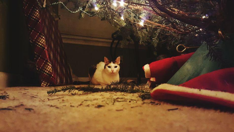 Beautiful stock photos of weihnachtsbaum, Animal Themes, Carnivora, Christmas, Christmas Decoration